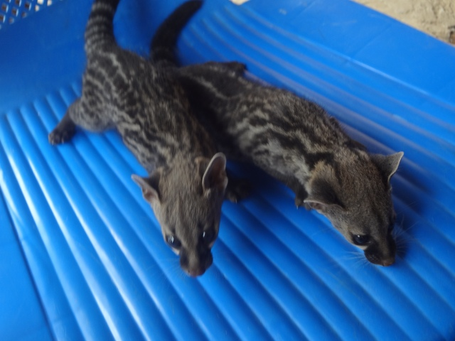 "One man even introduced us to his pets- apparently these are days-old ""bush cats"". They were squealing and terrified."